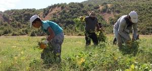 38 yıl boş kalan tarlasını devlet desteğiyle üretime kazandırdı Bingöl'de yüzde 75 hibe desteği alan çiftçi, 38 yıl sonra köyüne dönerek 110 dönümlük arazisine kuru fasulye ekip hasada başladı