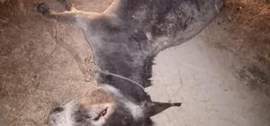 Canice öldürülen eşeğin sahibi suç duyurusunda bulundu