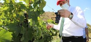 Eline makası alan Vali üzüm hasadı yaptı Eline makası alan Sivas Valisi Salih Ayhan, Koyulhisar ilçesinde yetiştirilen üzümün hasadını yaptı