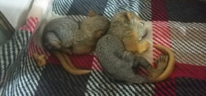 Anneleri kedi tarafından öldürülen yavru sincapları ilçe halkı sahiplendi