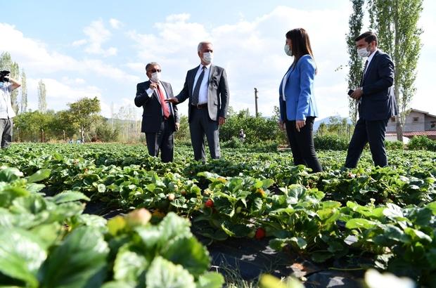 Isparta Aksu'da 500 ton çilek üretimi yapılıyor Aksu Yayla Çileği aromasıyla öne çıkıyor