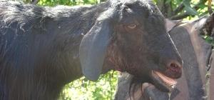 Kurtlar sürüye saldırdı, 5 hayvan telef oldu