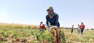Pancarın tatlı ve zahmetli yolculuğu başladı Çiftçiler, bin bir emekle yetiştirdikleri pancarın veriminden de şeker oranından da umutlu