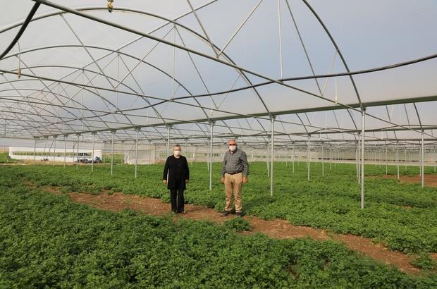 Yılın her günü sebze üretimi yapılması amaçlanıyor