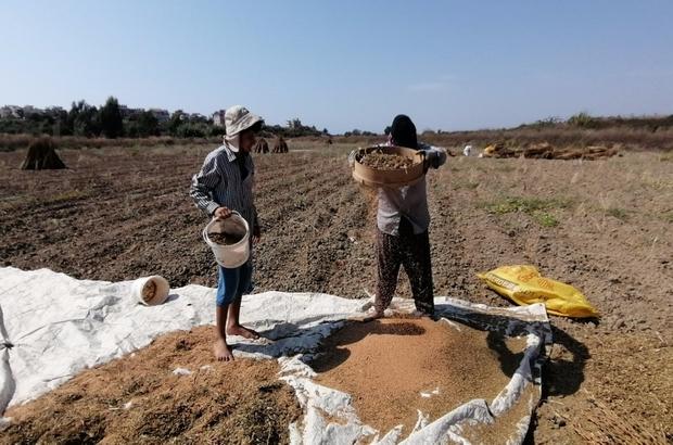 Antalya'da  'Altın Susam'a nöbetli hasat Üretici, kilogramı 18 liraya kadar alıcı bulan susamın başında nöbet tutuyor Bu yıl 45-50 bin dönümde 3 bin 600 ton rekolte bekleniyor