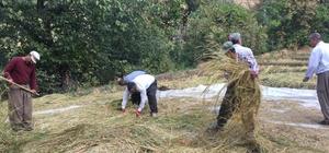 Irak sınırında çeltik hasadı Bereketli çeltik hasadı çiftçilerin yüzünü güldürdü