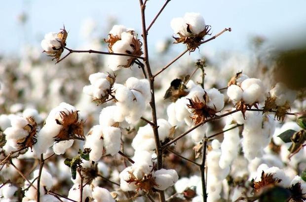 'Beyaz altın' pamuk için büyük iş birliği Pamuk rekoltesinin 626 bin 690 tona gerileyeceği öngörülüyor