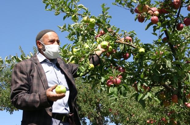 Bahçede yer tasarrufu sağladı: 2 tür elma aynı dalda Aynı ağaç gövdesinde hem kırmızı hem yeşil elma