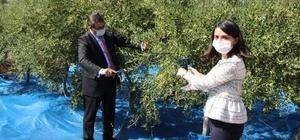 Bozcaada'da zeytin hasadı başladı, ilk zeytini ilçenin kadın kaymakamı topladı