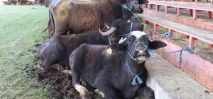 Ordu'da mandacılık canlandırılıyor Ordu'da unutulmaya yüz tutan manda yetiştiriciliği Mesudiye ve Aybastı ilçelerinde canlandırılıyor. Bu amaçla hayvan yetiştiricilerine 64 adet manda ve malak dağıtıldı