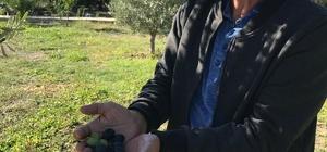 Üreticiler zeytin rekolte beyannamesi verecek