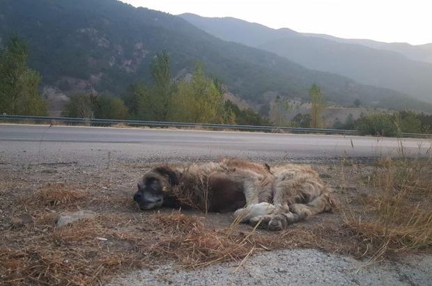 Her gün aynı yerde onu bekliyor Yaşlı ve bitkin sokak köpeği yol kenarında her gün aynı yerde kendisine kuru ekmek taşıyan hayvanseverin yolunu gözlüyor