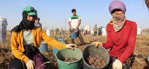 Yerli ve mor, ilk hasadı Sivas'ta gerçekleşti Sivas'ta yerli tohumdan üretilen mor patatesin ilk hasadı gerçekleştirildi