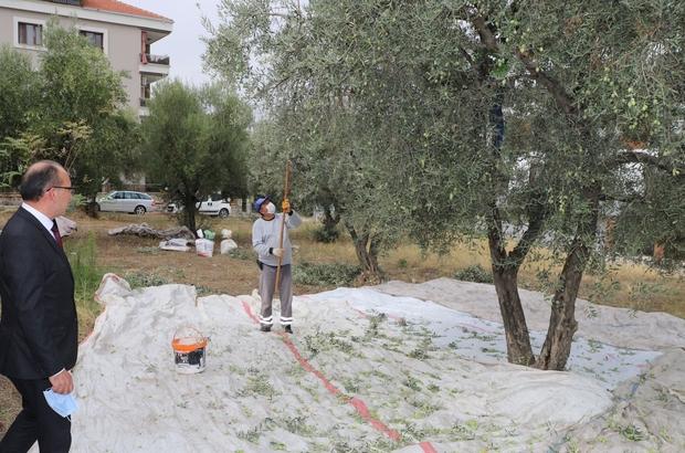 Turgutlu Belediyesi zeytin hasadına başladı Hasat edilen zeytinler hayır merkezinde kullanılacak