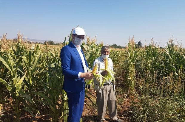 Silajlık mısırda hasat zamanı