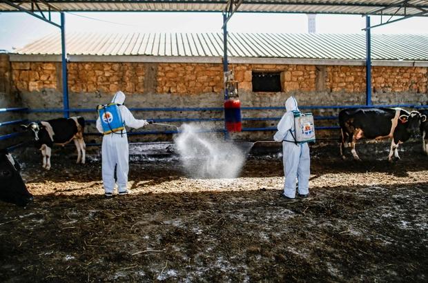 """Büyüköztürk: """"Üç gün hastalığı hayvandan insana geçmiyor"""" Adana'da hayvanlarda üç gün hastalığına karşı ilaçlama çalışmaları sürüyor"""