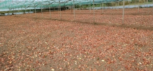Mihalgazi'de kuru soğan dikimi başladı