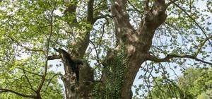 Çevre ve Şehircilik Bakanlığı, Sakarya'da 1061 ve 451 yaşında iki anıt ağacı olduğu bilgisini paylaştı