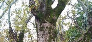 """Dededen toruna miras kalan yaklaşık 500 yıllık anıt ağaçlara gözü gibi bakıyor Yıllara meydan okuyan anıt ağaçlar için 6 yıl önce yol güzergahı değiştirildi Anıt ağaçlarının olduğu arazinin sahibi Murat Öz: """"Ağaçlara sahip çıktıkları için devletimize teşekkür ediyorum"""" """"İnşallah bizden sonraki nesillere bu güzelliği aktara biliriz"""""""