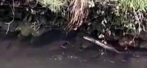 Nesli tükenmekte olan su samuru Giresun'un Çanakçı Deresi'nde görüldü