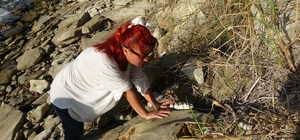 (Özel) Çanakkale'de 9 milyon yıl öncesine ait mamut fosilleri bulundu