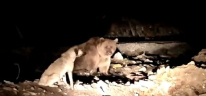 Sarıkamış'ta kış uykusu öncesi besin depolayan ayılar kameraya yansıdı