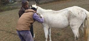 Bilecik'te atların ruam testleri yapılarak, mikroçipleri takılmaya devam ediliyor