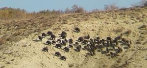 Domuz sürüsü köy yakınına indi Sivas'ın Divriği ilçesine bağlı bir köyde 60 yakın domuz sürüsü cep telefonu kamerasına yansıdı