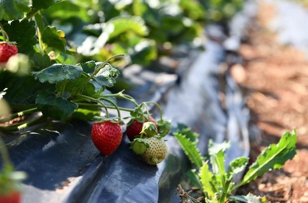 """Isparta tarımının çilek yetiştiriciliği hedefi Çilek üretimi projesinde 5 yılda 26 milyon lira kâr hedefleniyor İl Tarım ve Orman Müdürü Eyüp Adıgüzel: """"Çilek projesiyle köyden kente göçü önlemek istiyoruz"""" """"Isparta'da yetişen çileğin kilogram fiyatı 10 TL'ye kadar satılabiliyor"""""""