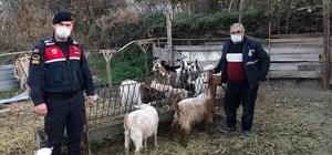 Hayvan hırsızları yakalandı Ağıldan 12 keçiyi çalıp satan 2 şüpheli tutuklandı