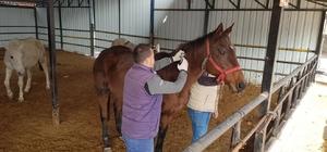 Bilecik'te atlara çip takılarak, büyükbaş hayvanlarda şap aşılaması yapıldı