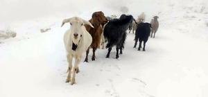 Kar altında doğan kuzuları araçla taşıdılar Sivas'ın Gürün ilçesinde yayla dönüşünde kar yağışına yakalanan sürüde dünyaya gelen kuzular otomobille taşındı