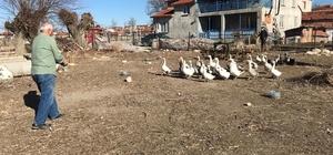 Yetiştirdiği kazlar adeta kapışılıyor Emekli Adnan Çakır, kış aylarında satmak için yetiştirdiği kümesindeki kazların yarısını şimdiden sattı