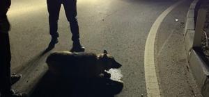 Gece korona denetimine çıkan kaymakam yaralı köpeğin imdadına yetişti Kaymakam'dan ayakta alkışlanacak örnek davranış Yolda Kaymakam tarafından yaralı halde bulunan kurt köpeği tedavi altına alındı