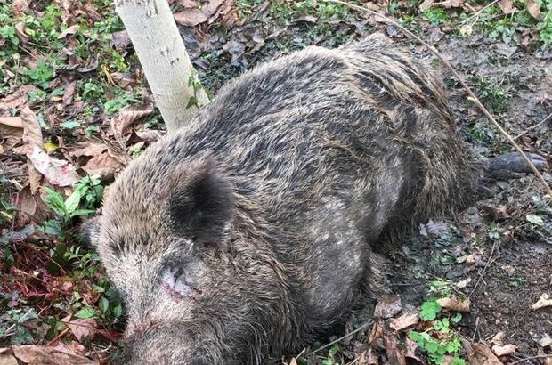 Bahçede çalışırken domuzun saldırısına uğradı