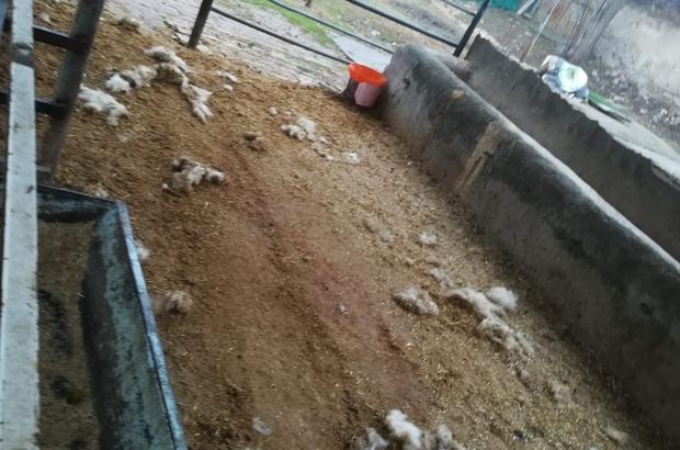 Elazığ'da kurt, 2 koyunu telef etti