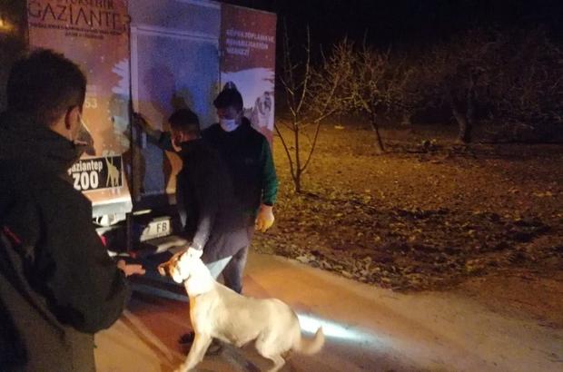 (ÖZEL HABER) Jandarmadan köpek dövüşüne baskın