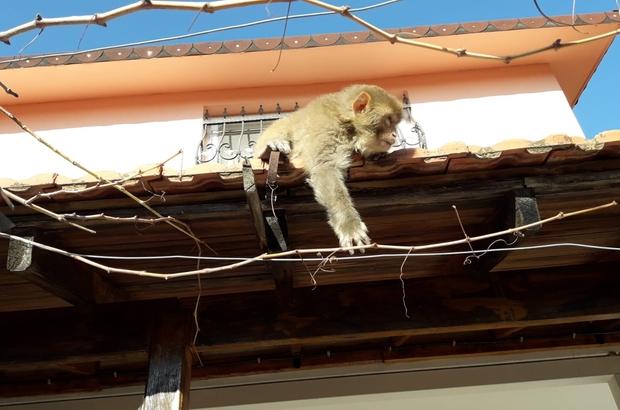 İzmir'de başı boş gezen maymun görenleri şaşırttı Daldan dala atladı, maymunu gören işçiler şok oldu