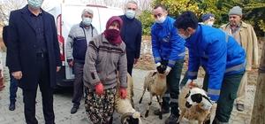 Büyükşehir, sakız koyunu dağıtımına devam ediyor