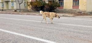 Vefasızlığın böylesi Köylüler kış sezonunda bakımından kurtulmak için çoban köpeklerini sahipsiz bırakıyor Köy meydanlarında, yollarda başıboş dolaşan köpekler heybetli görünümleri ile vatandaşları tedirgin ediyor