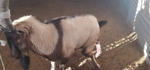 Ayağı kırık dağ keçisi tedavi altına alındı