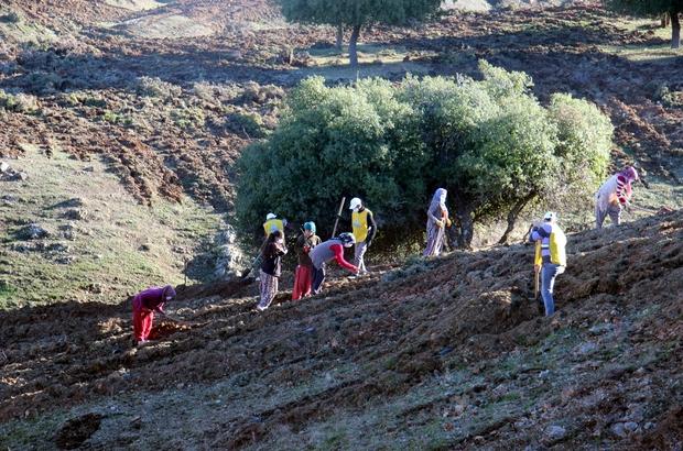 Kilis'te aroma vadisi oluşturuldu Kilis'te 380 dönüm araziye 63 bin gelir getirici fidan dikildi