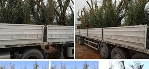 İznik'te tarihî satış... Bursa'nın İznik ilçesinde tarihî zeytin ağaçları kesilip internetten satılıyor
