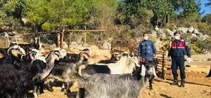 Kayıp 20 keçi ormanda bulundu