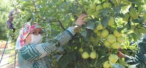 """Isparta'da elma üretimi rekor kırdı, kentte bu sezon 900 bin ton elma üretildi İl Tarım ve Orman Müdürü Eyup Adıgüzel: """"Isparta'nın elma üretim payının yüzde 25'in üzerinde olacağını tahmin ediyoruz"""" """"Elma ihracatımız 14 bin tondan 47 bin tona çıktı"""""""