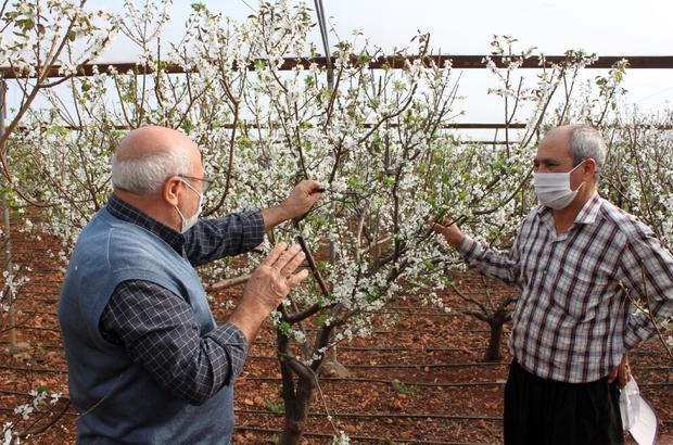 Erik seralarına bahar erken geldi Mersin'de erken çiçek açan çağla erikleri sofralara da 15-20 gün daha erken gelecek