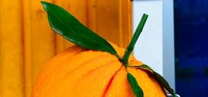 Manavgat'ta tanesi 1 kilogramı geçen portakallar görenleri şaşkına çeviriyor Kilogramı 3-4 liradan tezgahta yerini alan portakal yok satıyor