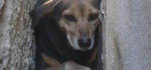 İki bina arasına sıkışan köpek bakın nasıl kurtarıldı? Binaların arasındaki boşlukta mahsur kalan köpek sıvalar kırılarak sıkıştığı yerden kurtarıldı