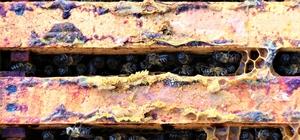 Üniversiteli arılar üretiyor, kilosundan 6-7 bin lira gelir elde ediliyor Düzce Üniversitesi Arıcılık Araştırma, Geliştirme ve Uygulama Merkezi (DAGEM) çöpe atılan ürünün değere dönüştürdü Propolisin ardından arıcıların yeni trendi 'Arı Zehri'
