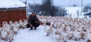 Yaylalar kazlarla şenlendi 60 santim karda kaz yetiştiriciliği